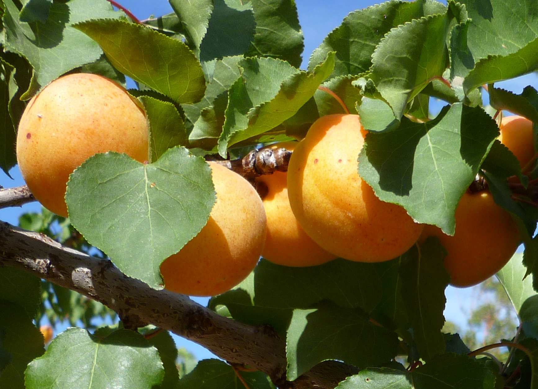 Royal Blenheim Apricots On The Tree