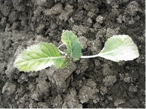 Photo 4. Outer leaves affected on cauliflower