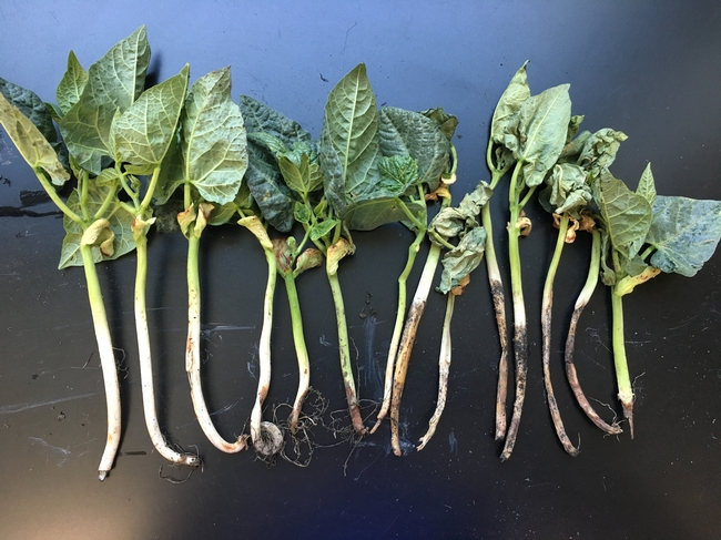 Figure 1. Lima bean root and crown rot.