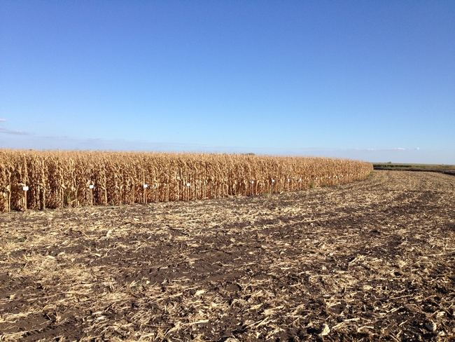 UCCE Delta field corn variety trial.