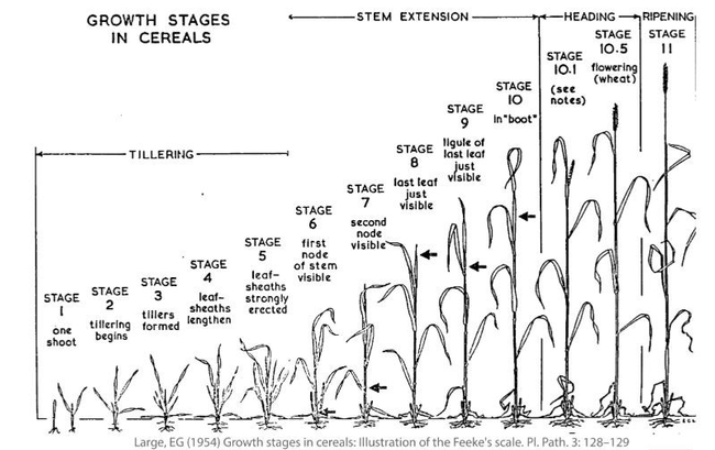 Figure 1 Feeke's scale of cereal growth stages