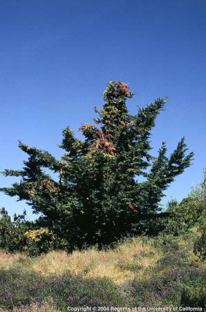 Cypress Canker