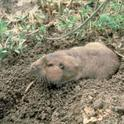 pocket-gopher-small