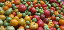 Heirloom tomatoes for UC Master Gardeners- Diggin' it in SLO Blog
