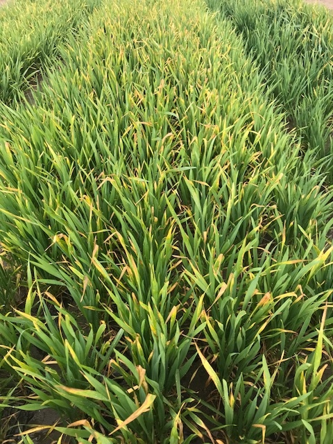 Fig. 1. Yellowing and tip burning of wheat from frost injury. (Photo courtesy of PCA.)