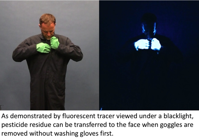 Side by side images one in the light and one in the dark of a man removing coveralls.Dark image shows pesticide residue transferred to areas of clothing and skin when viewed under black light.