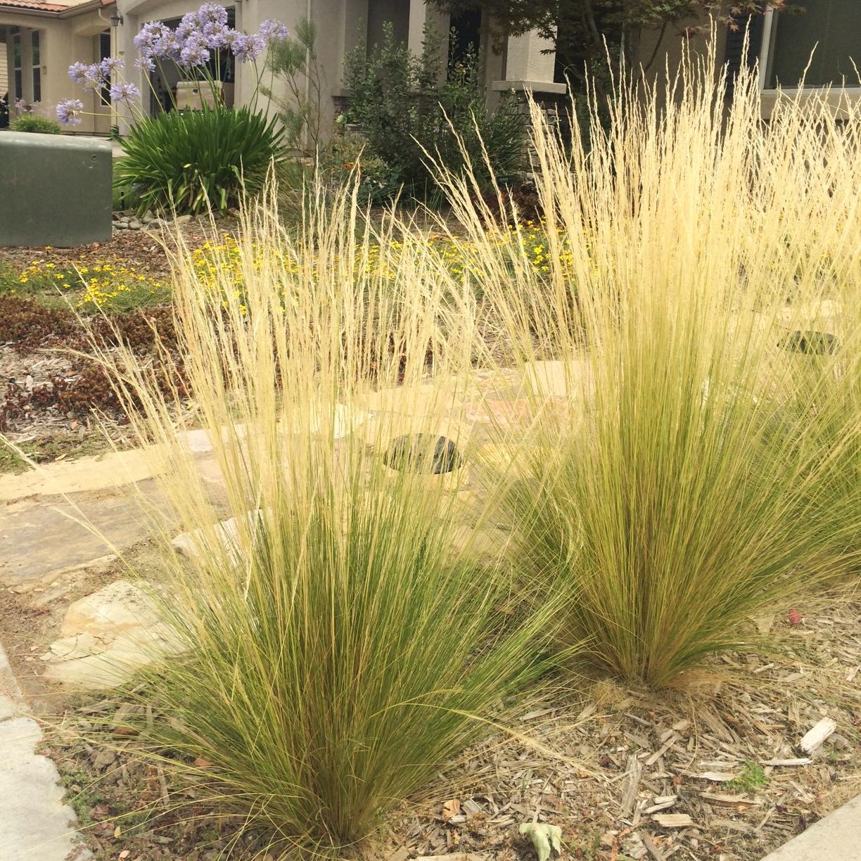 Mexican Feather Grass Invasive Beauty Can Be Deceiving