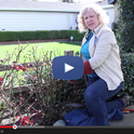 Video: How to Prune a Hybrid Tea Rose