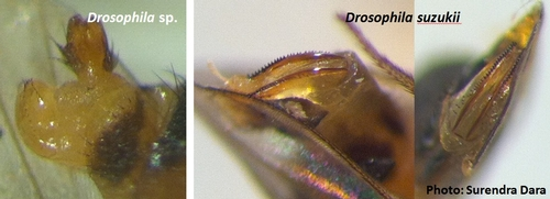 Normal ovipositor of Drosophila sp. and sclerotized ovipositor of spotted wing drosophila