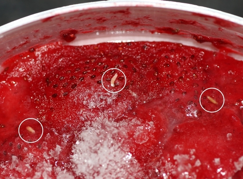 SWD maggots in frozen strawberries