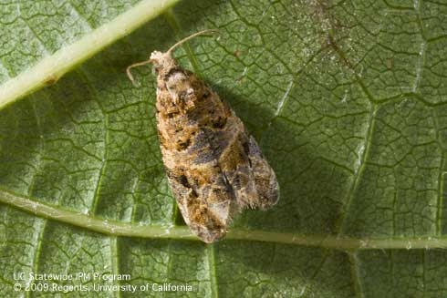 European grapevine moth adult: no longer a problem for California caneberry growers.