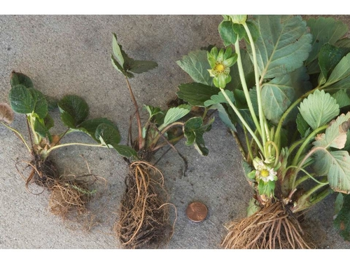 Salt affected plants from the Coachella Valley.  Stunted plants on left with dying leaves, larger healthy plant on right is showing less damage.  Photo Steven Koike, UCCE.