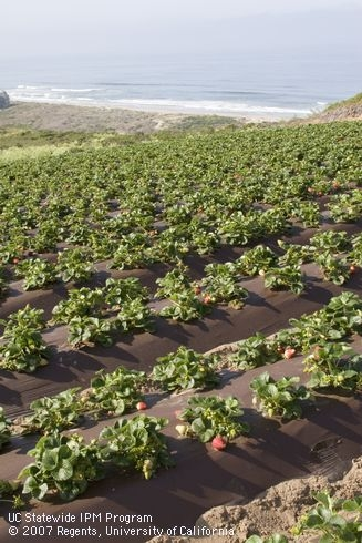 The newest organic fresh market strawberry cost and return study is now available from UCCE.