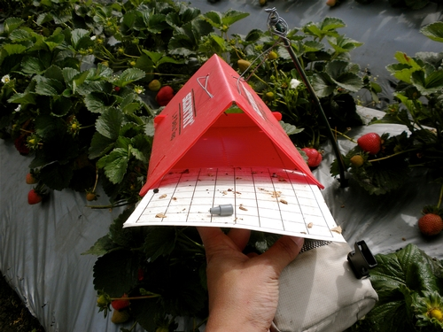 Delta trap placed in strawberry to monitor male light brown apple moth populations.