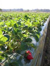 Cost and return study for conventional strawberries now available.