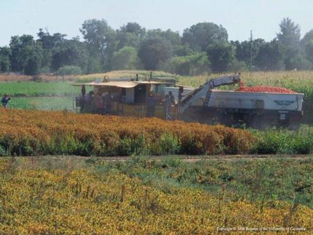 Mechanized harvest of tomatoes in California.