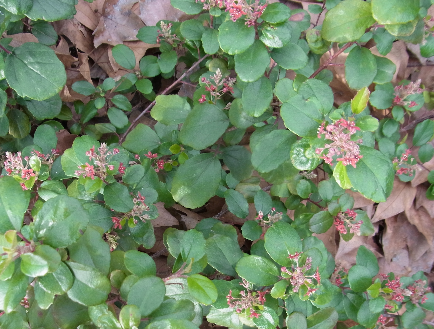 Evergreen Currant, Ribes Viburnifolium, In Bloom This Plant Grows To  Create Dense Mats And Makes A Good Groundcover Under Native Oaks