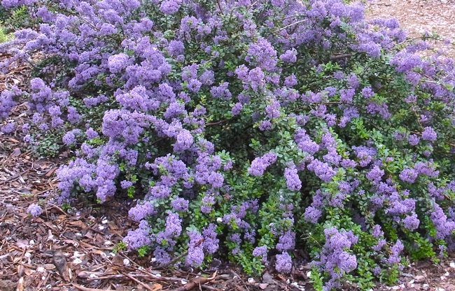 Ceanothus 'Valley Violet' in full bloom in March