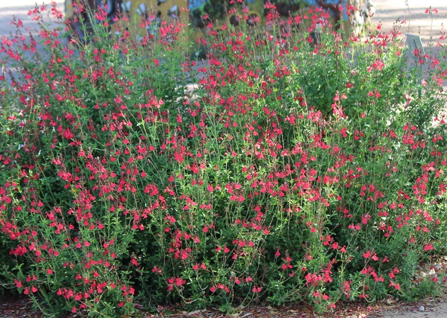 Salvia 'Fire Dancer' in full bloom