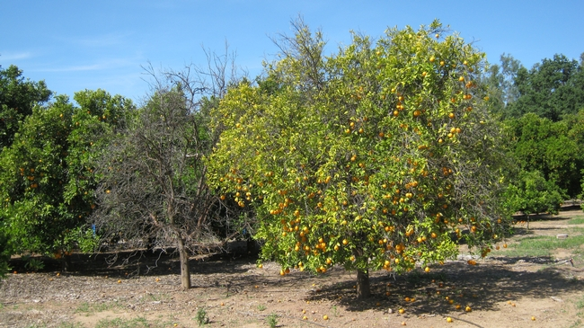 citrus gopher damage