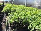Tomato seedlings being prepared for the Santa Clara UC Master Gardeners spring sale