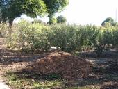 Wood chips for use as orchard mulch