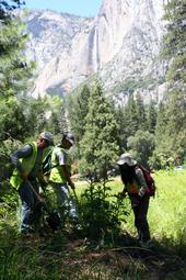 Volunteers remove bull thistle in Yosemite National Park.