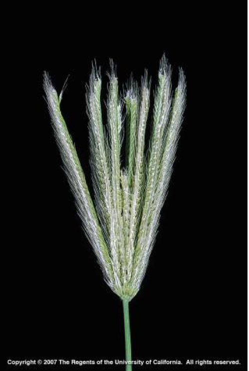 Picture2 Feather fingergrass inflorescence (Photo J. M. DiTomaso)