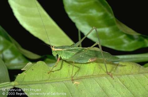 Katydid adult. (Photo: Jack Kelly Clark)