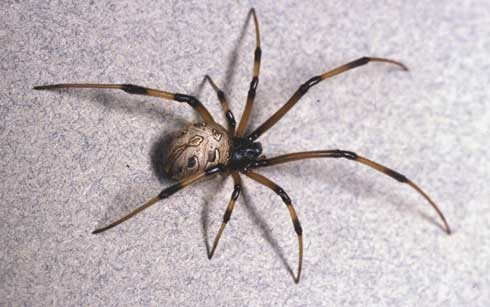 Female brown widow spider. (Photo: Rick S. Vetter)