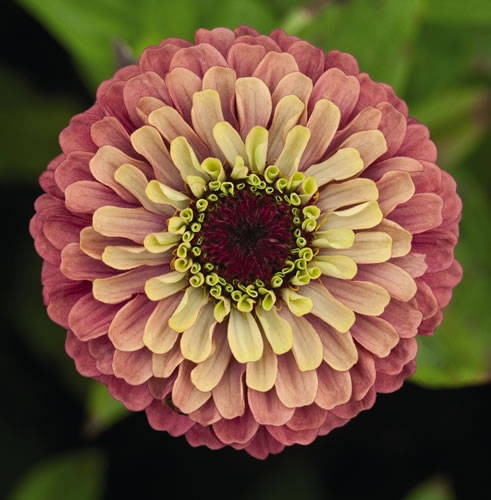 Zinnia 'Queen Red Lime' (photo from About.com Gardening)