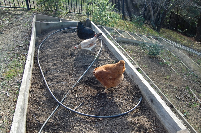 In February, our three hens were welcome to forage in the fallow raised beds. photos by Kathy Thomas-Rico