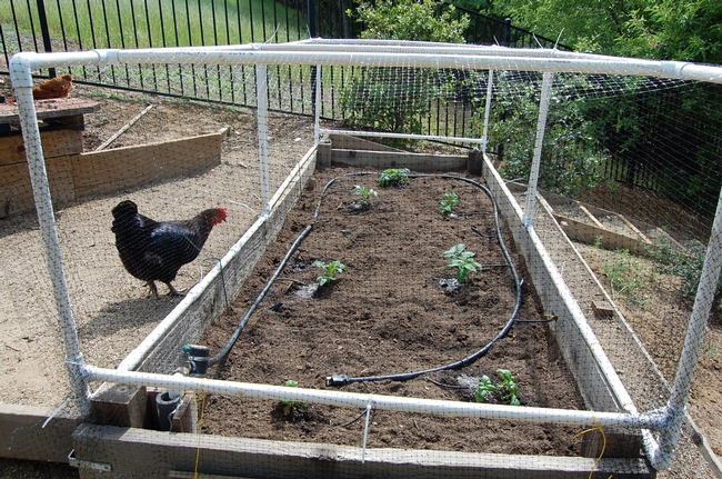 The newly planted bed, with new bird-netting frames, is no longer as welcoming to the hens and local quail.
