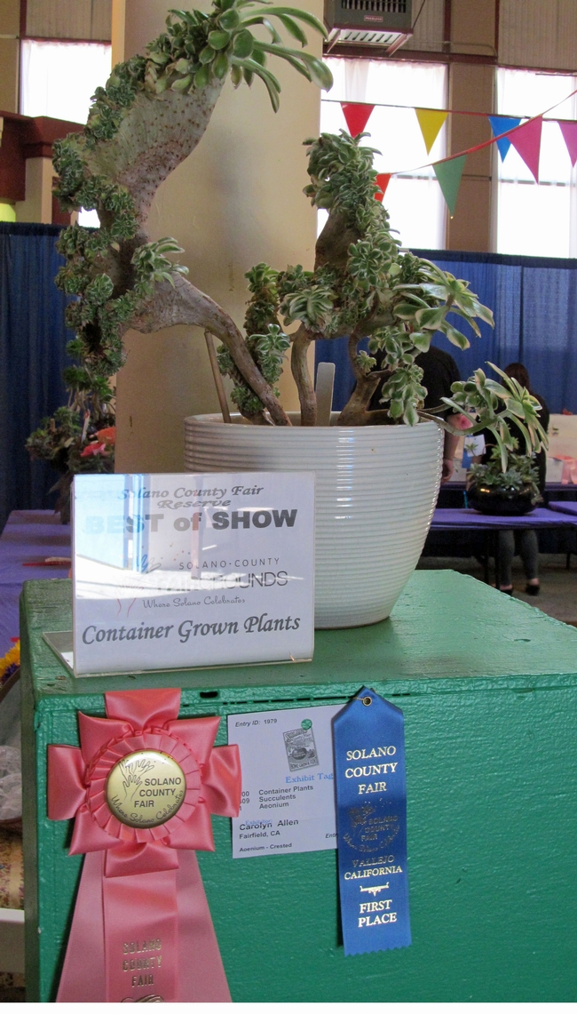 2013 Reserve Best of Show Crested Aoenium (photo by Carolyn Allen)