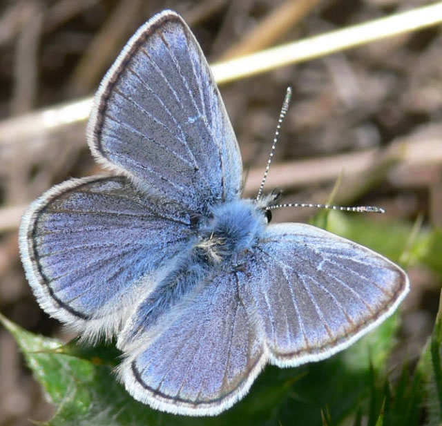 Mission Blue butterfly (photo from baynature.org)