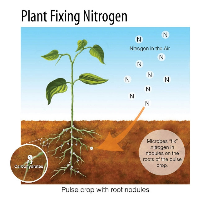 Nitrogen Fixing Legumes. Photo courtesy of permaculture.co.uk