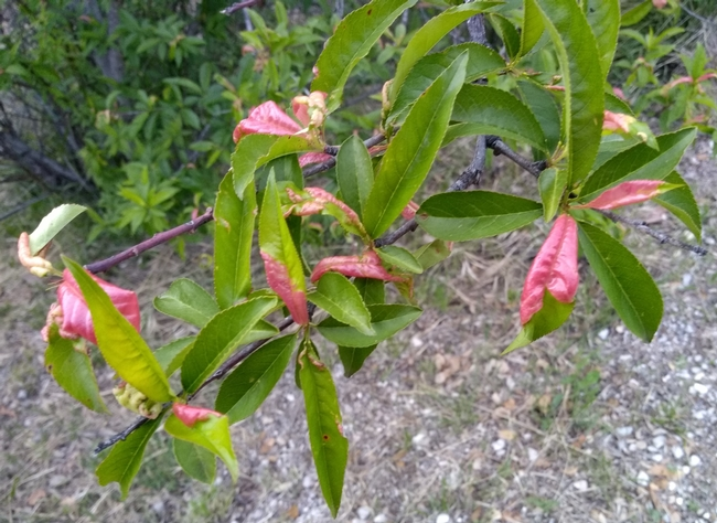 Read our tips to keep your peach or nectarine tree healthy.