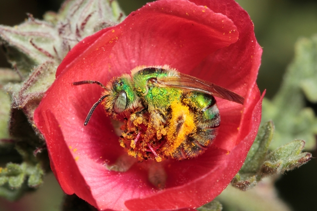 Agapostemon texanus, a native pollinator of avocados. Photo by  Rollin Coville.