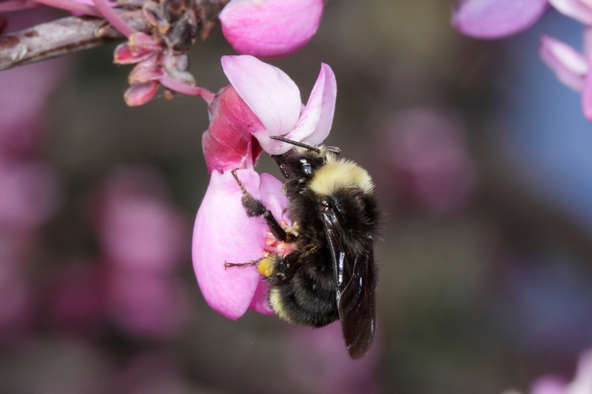 Bombus vosnesenskii, a native pollinator of avocados. Photo by Rollin Coville.