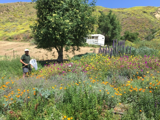 A blooming pollinator garden and research site at Jim Lloyd Butler's avocado ranch in Ventura County. Photo by Gordon Frankie.