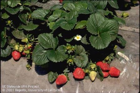 Strawberry plant with flowers and fruit.