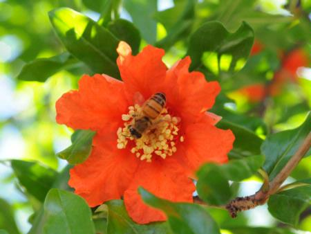Bee on pomegranate blossom
