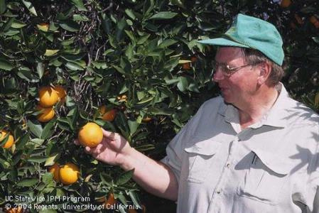 John Menge, plant pathology professor, by a 120-year-old citrus tree in the oldest navel orange grove in California.