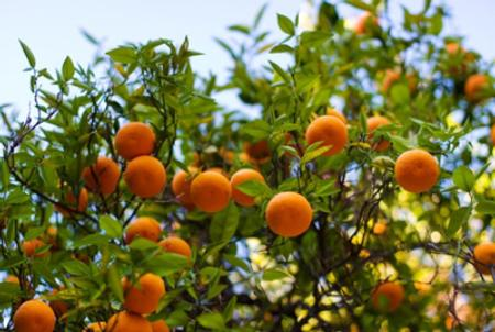 Seasonal Harvest - Ripe Oranges