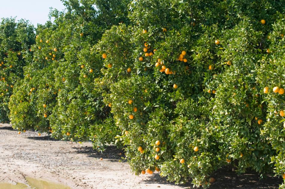 Row of Orange Trees in Orchard