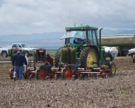 No-till transplanting the 2011 tomato crop.