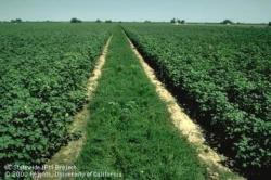 Intercropping of cotton and alfalfa