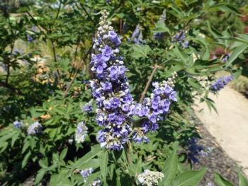 Vitex agnus castus (Chaste Tree), 'Should Creek'