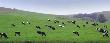 Tomales cows