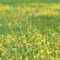 Spring Mustard in Tomales
